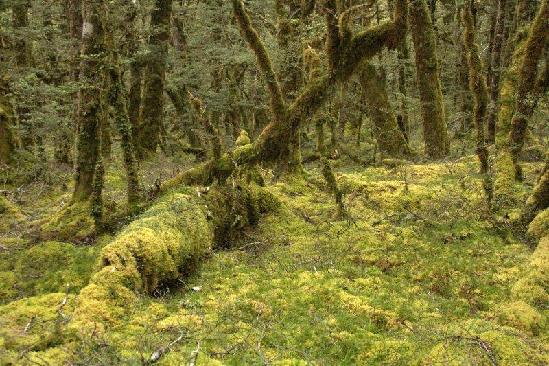 Thick Moss near McKellar Hut
