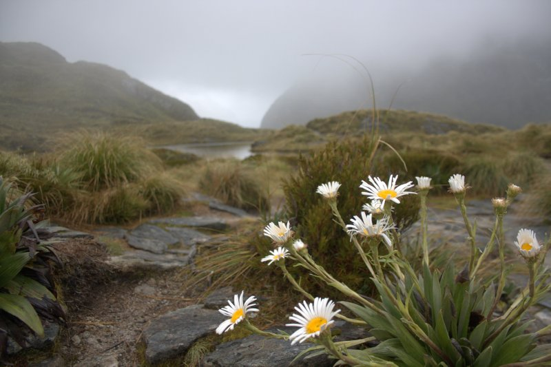 Mountain Daisies on Mackinnon Pass