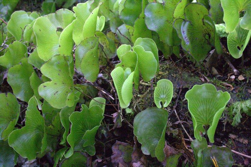 Kidney Ferns in Milford Sound