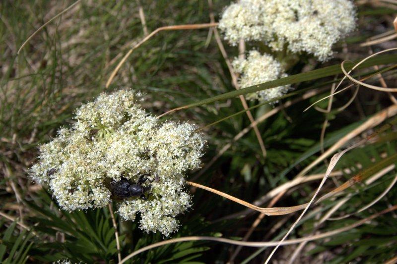 Alpine Weevil on Gertrude Saddle