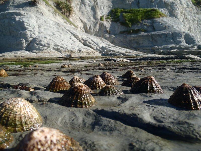 Limpets on Kaikoura Peninsula