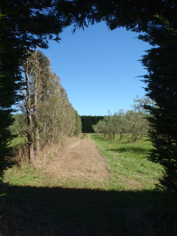 Wind Shelter for Feijoa Trees