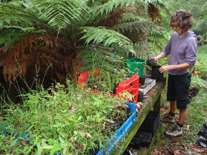 Julie Re-Potting Native Trees