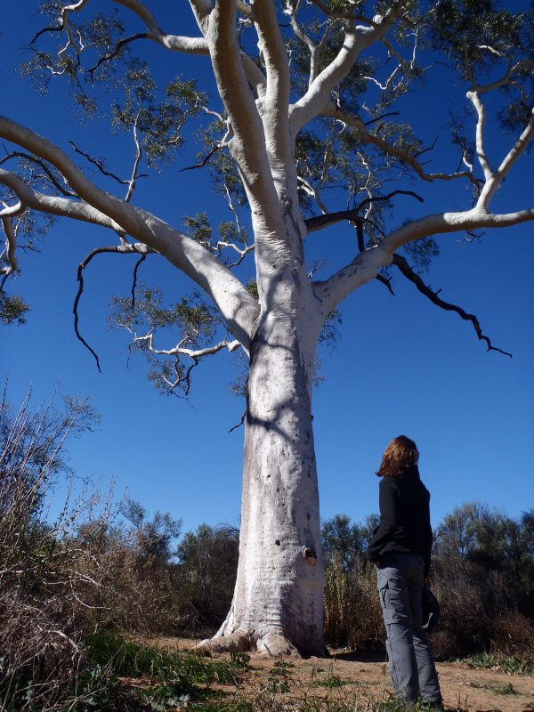 300 Year Old Ghost Gum in East MacDonnell Ranges