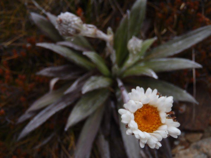 Alpine Flower on Boulder Lake Trek
