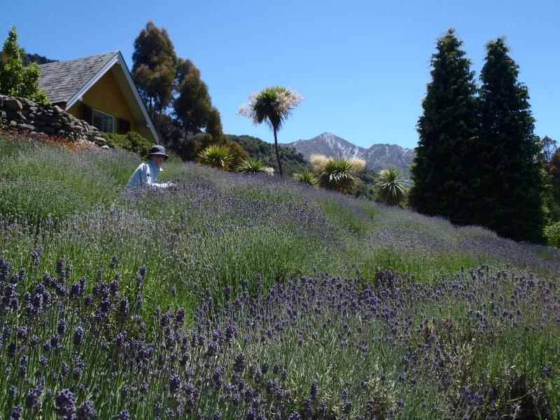 Julie Weeding Lavender Patch