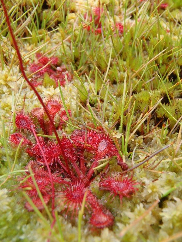 Carnivorous Plant - Sundew