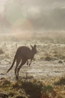 Eastern Grey Kangaroo in Kosciuszko NP