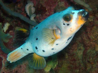 Pufferfish..455170.jpeg