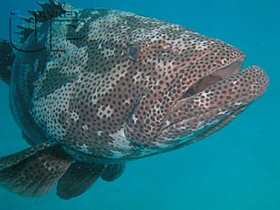 grouper3.jpg