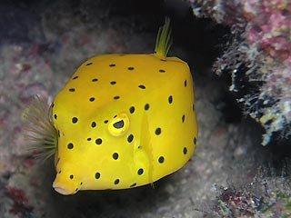 yellow_boxfish.jpg