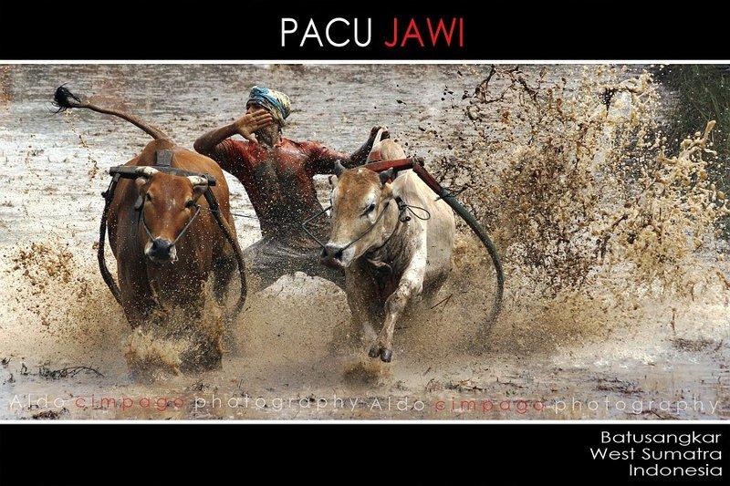 PACU JAWI  ( Cow Race )