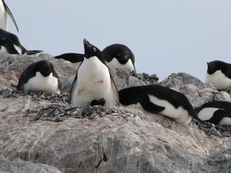 Penguins on the nest with a chick