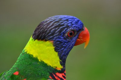 A beautifully coloured Lorikeet waits for Jen to feed him!