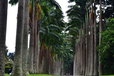 One of the Palm Avenues in the Peredeniya Botanical Gardens