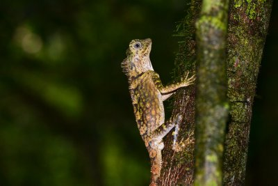 An iguana clings on to a tree in the rainforest, Danum Valley