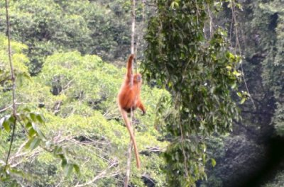 A Red Monkey hanging about in the rainforest