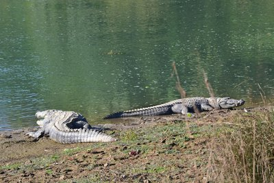 A couple of lazy, hungry crocs....