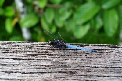 A blue tailed dragonfly pays us a visit at breakfast