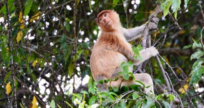 The much prettier female Proboscis Monkey