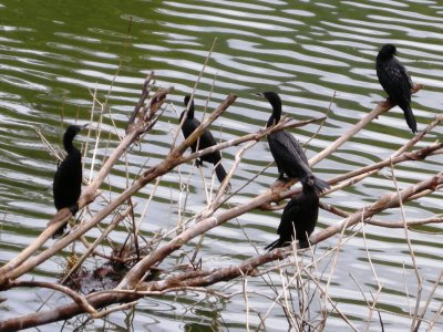 Small Cormorants spy their dinner on Kandy lake