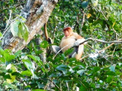 A large male Proboscis Monkey contemplates life, the universe and..... his big fat belly!