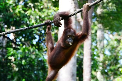 A playful Orang-utan shows us his table manners...