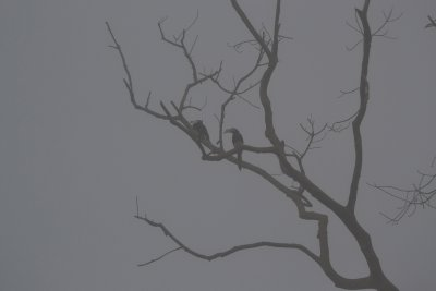 Two Oriental Pied Hornbills silhouetted against the mist