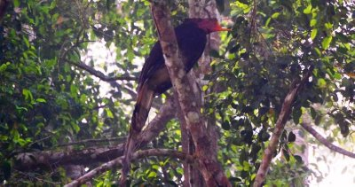 A Helmeted Hornbill with the top of his bill missing