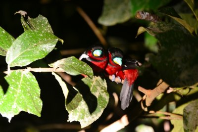 Three Black-and-Red Broadbills huddle up for the night