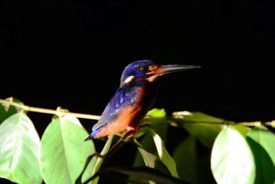 A brilliantly coloured Kingfisher doesn't escape our spotlight!