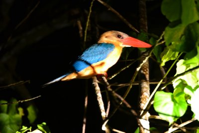 A large Kingfisher is woken by our spotlight