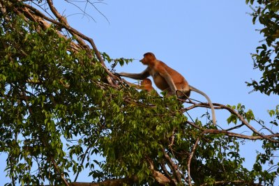 A Female Proboscis monkey shadows her baby up a tree