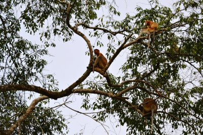 The shy Proboscis Monkeys keep well away from prying eyes!