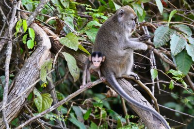 A baby Macaque hangs on for dear life while Mum looks the other way!