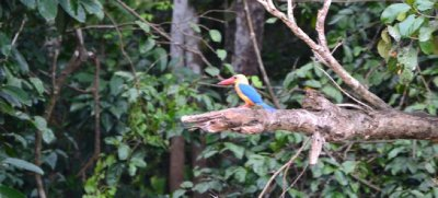 A colourful Kinabatangan Kingfisher!