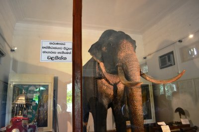 The stuffed Maligawan Tusker