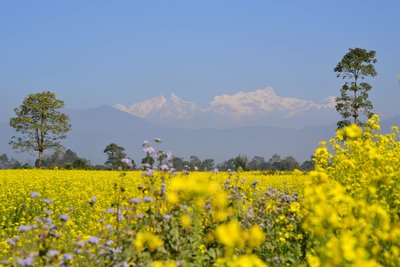 Gorgeous yellow fields in Chitwan National Park