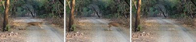 Chital speeding across the road