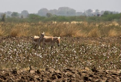 Wild Ass straying to the cotton fields in the Kutch
