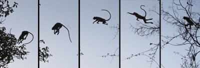 Langurs taking a leap