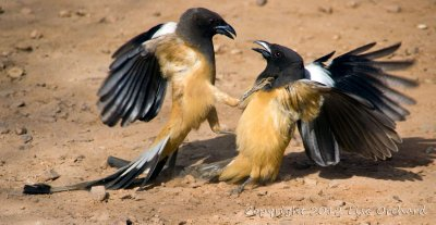 Battling Rufous Treepies