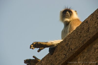 Langur surveying his kingdom up at Ranthambor Fort