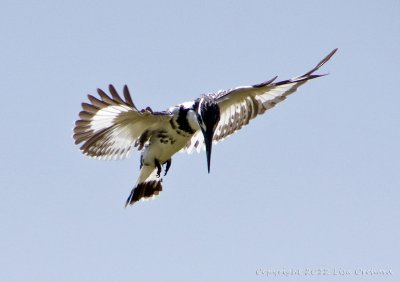 Pied Kingfisher hunting