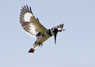 Spend a wonderful few hours watching a Pied Kingfisher hunt in the pond at back of our Lodge