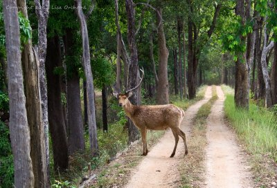 Poor one-horned Barasingha