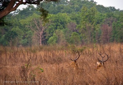Resting Barasingha before the day heats up.
