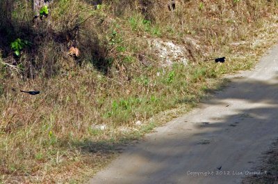 Seemingly endless quest to catch a good shot of a racket-tailed drongo in flight!