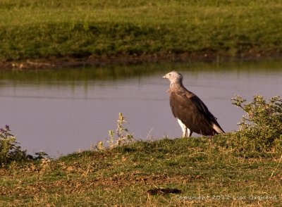 Grey Headed Fish Eagle deciding what to do