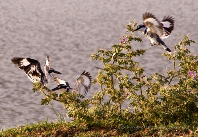 A family of Pied Kingfishers